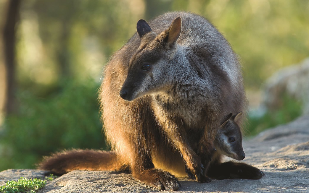 brush tailed rock wallaby and joey